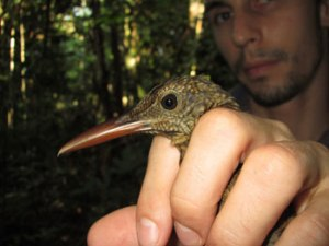 Luke L. Powell, lead author, holding an Amazonina Barred-woodcreeper (Dendrocolaptes certhia), a facultative follower of army ants.