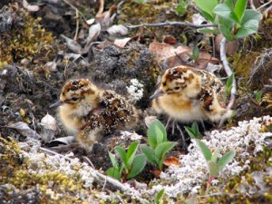 Photo credit: White-rumped Sandpiper Chicks by Laura McKinnon
