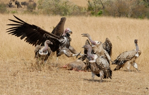 A Lappet-faced Vulture lands amidst a group of feeding Ruppell's vultures (Credit: Corinne Kendall)
