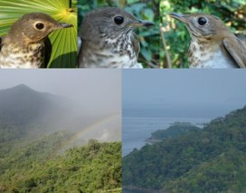 Three champions of long-distance migration, the Swainson's Thrush, Gray-cheeked Thrush, and Veery, and their critical gateways into South America, the Sierra Nevada de Santa Marta (left) and the Darién (right) in northern Colombia.