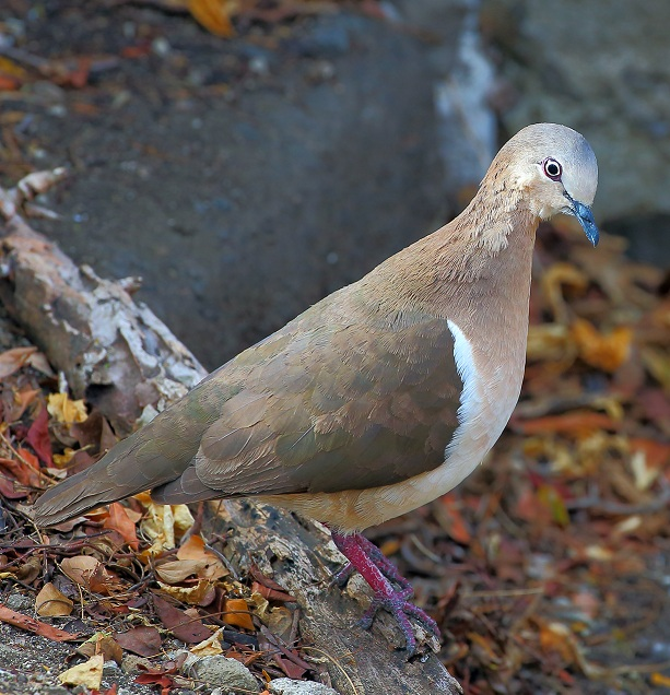 The Grenada Dove (Leptotila wellsi) has a restricted distribution and small population size.  Photo credit: Greg R. Homel