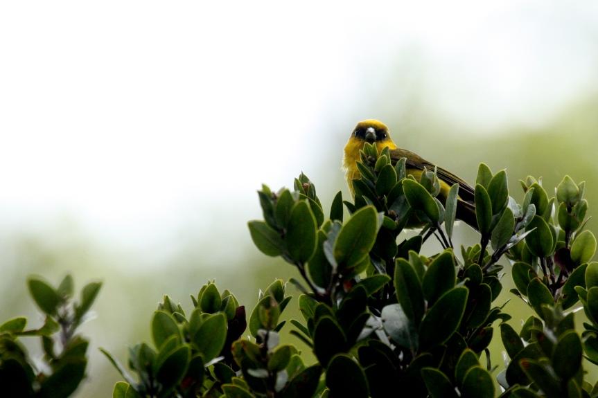 'Akeke'e foraging. Photo by Lucas Behnke.