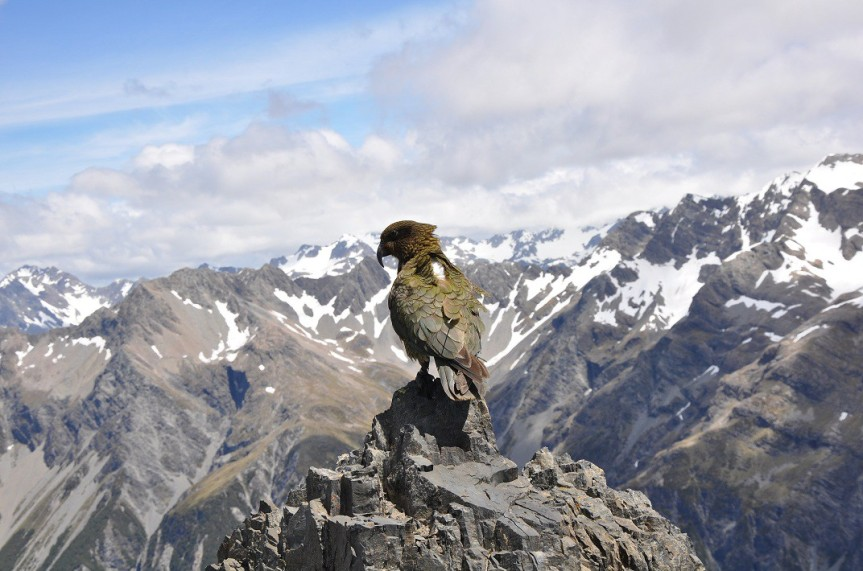 A Kea wearing a GPS logger on a backpack harness. Photo credit: B. McKelvey