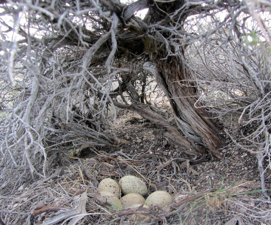 A Greater Sage-Grouse nest with eggs. Photo credit: S. Beh
