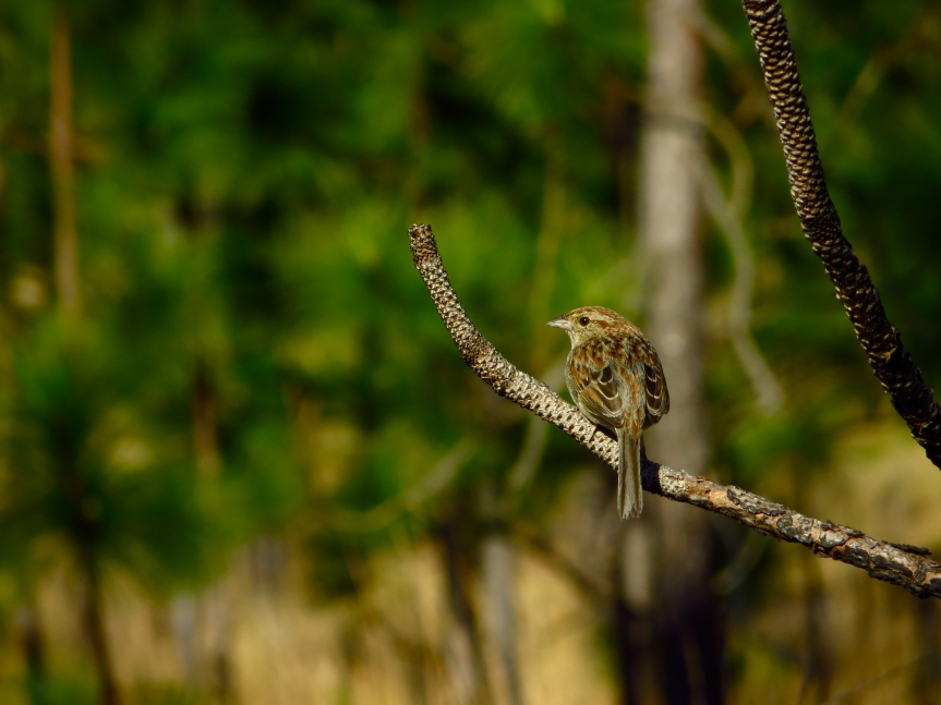 A Bachman's Sparrow perches in longleaf pine habitat. Photo credit: P. Taillie