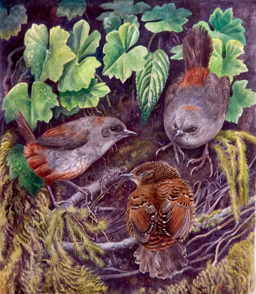 Scytalopus meridanus, S. caracae, and S. latebricola, the closest relatives of the Perija Tapaculo. Image credit: J. Fjeldså