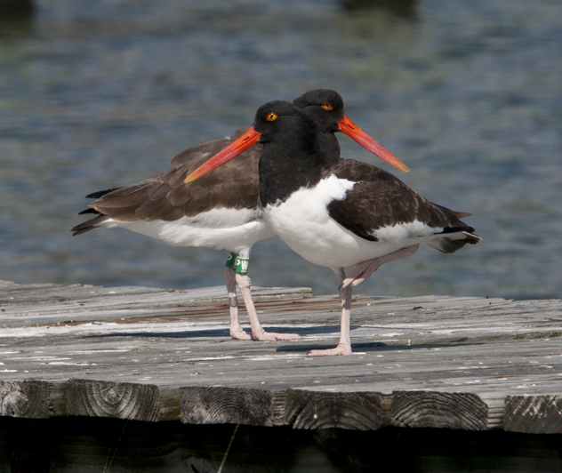 Managing American Oystercatchers requires coordination between many different organizations. Image credit: L. Addison