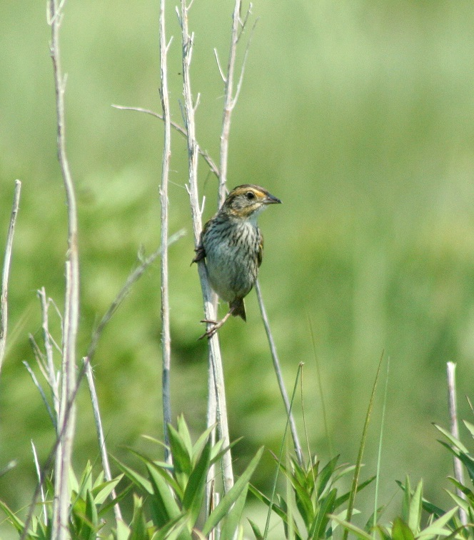 Saltmarsh Sparrows (shown) produce hard-to-identify hybrids with Nelson's Sparrows. Image credit: K. Papanastassiou