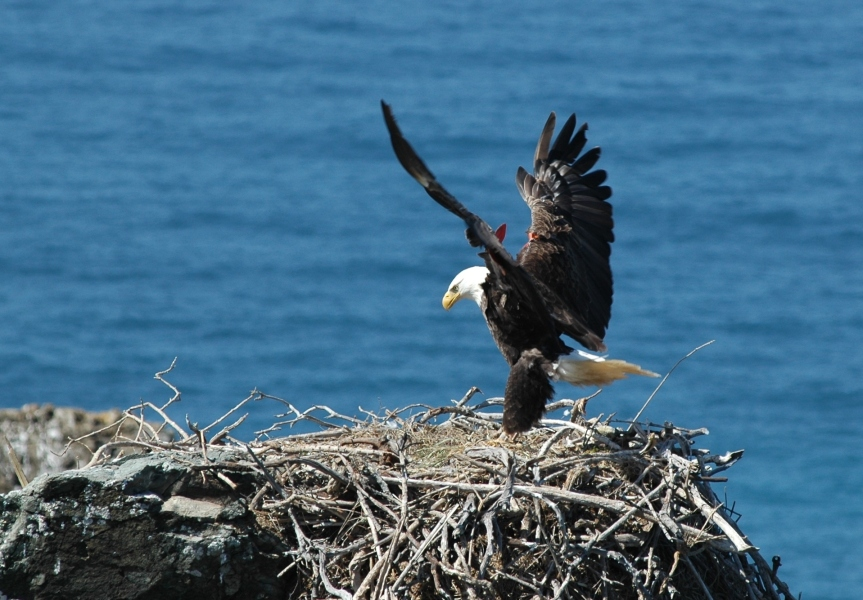 Breeding male Bald Eagle landing at the West End on Santa Catalina Island, California. Photo credit: P. Sharpe