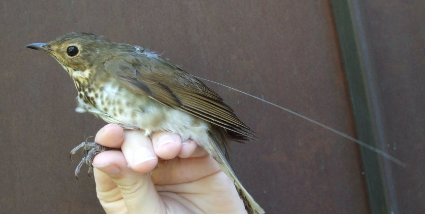 A Swainson's Thrush outfitted with a transmitter. Image credit: J. Craves