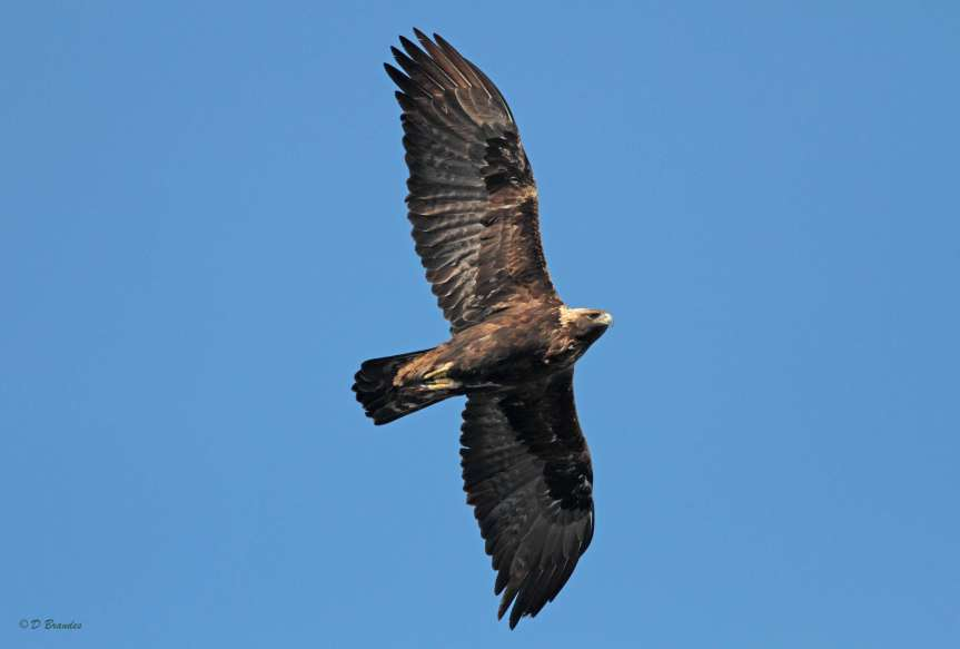 Eastern Golden Eagles face a variety of threats. Image credit: D. Brandes