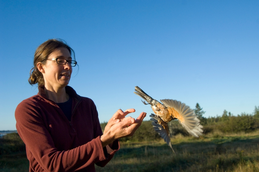 Researcher Jennifer McCabe releases a robin caught in a mist net as part of the study. Image credit: University of Maine
