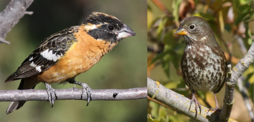 Every winter, Neotropical migrants like the Black-headed Grosbeak (left) are replaced by Neotemperate migrants like the Fox Sparrow (right) in the riparian habitat of California's Central Valley. Image credit: A. Engilis, Jr.