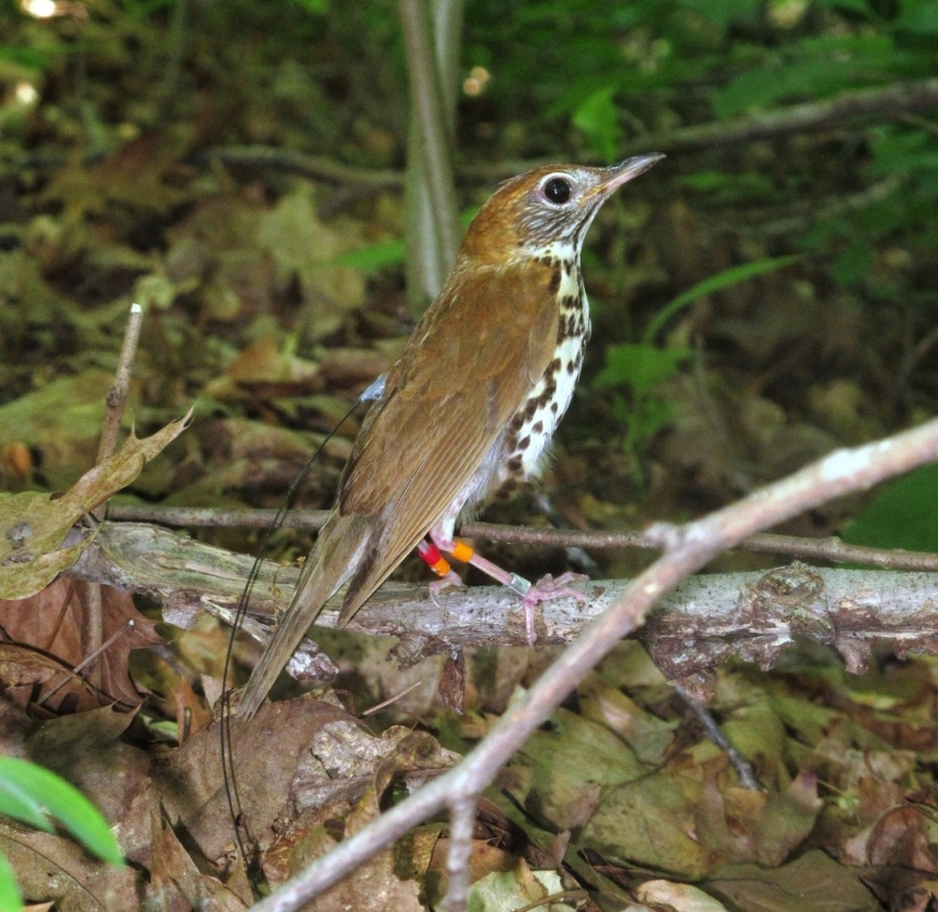 A Wood Thrush wearing a radio transmitter. Image credit: V. Jirinec