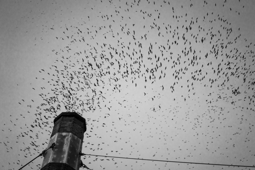 Vaux's Swifts at a chimney roost. Image credit: J. Garner.