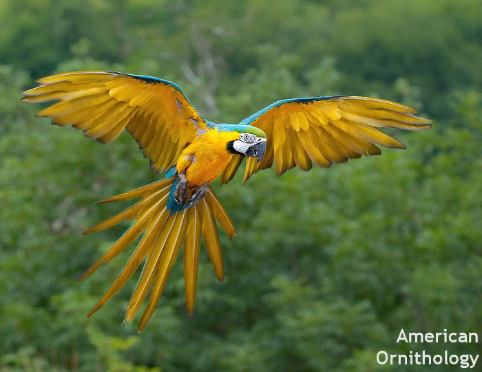 Blue-and-yellow Macaw by Luc Viatour