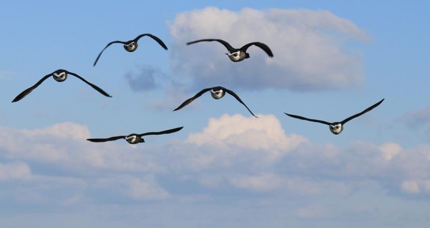 Geese, Public Domain via Pixabay