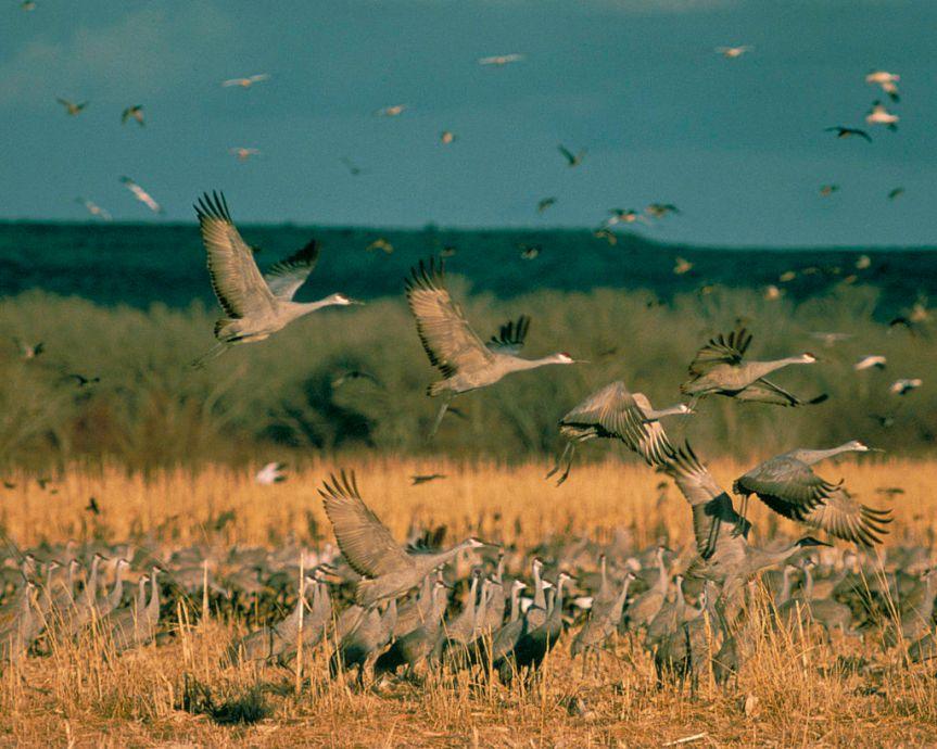 Sandhill Cranes by Gary Zahm