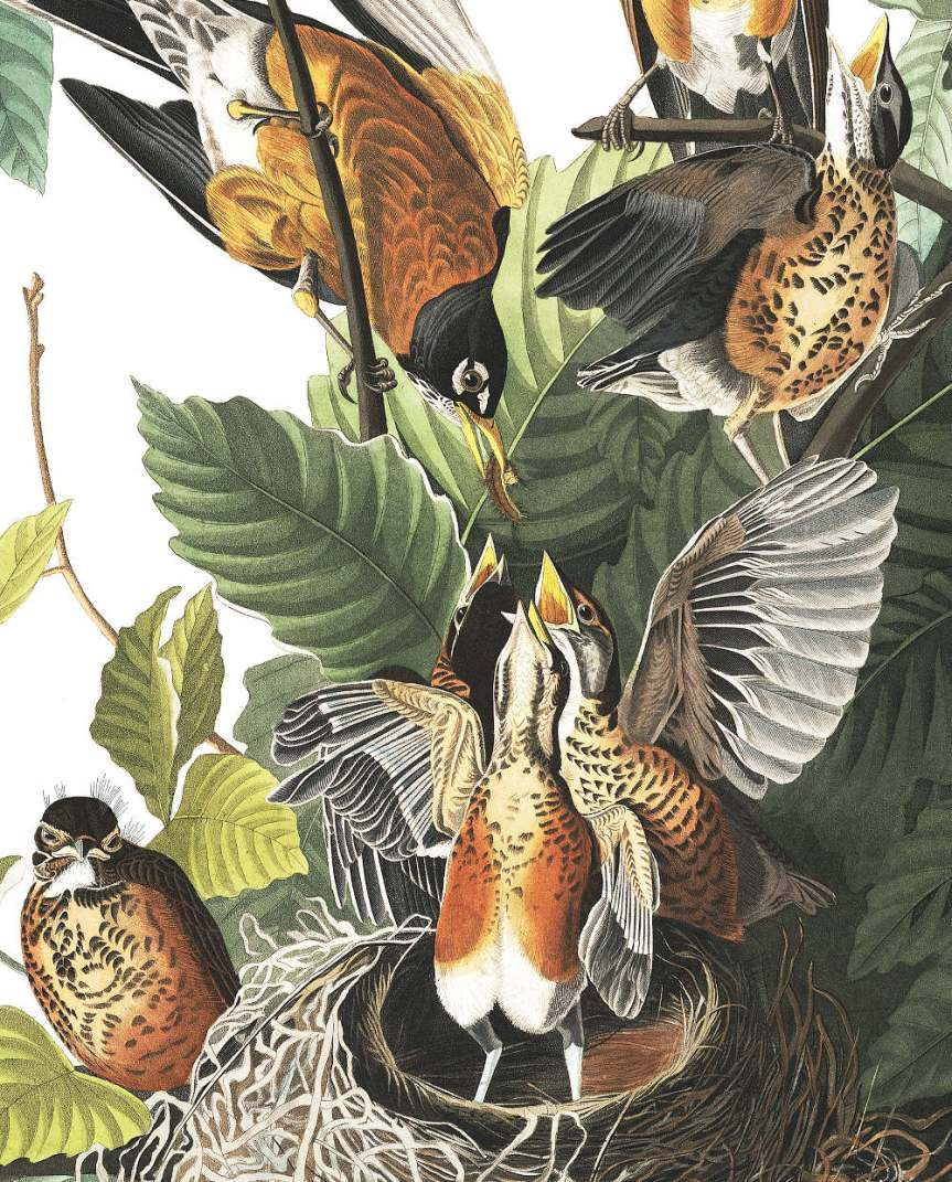 American Robins by John James Audubon (detail), Public Domain