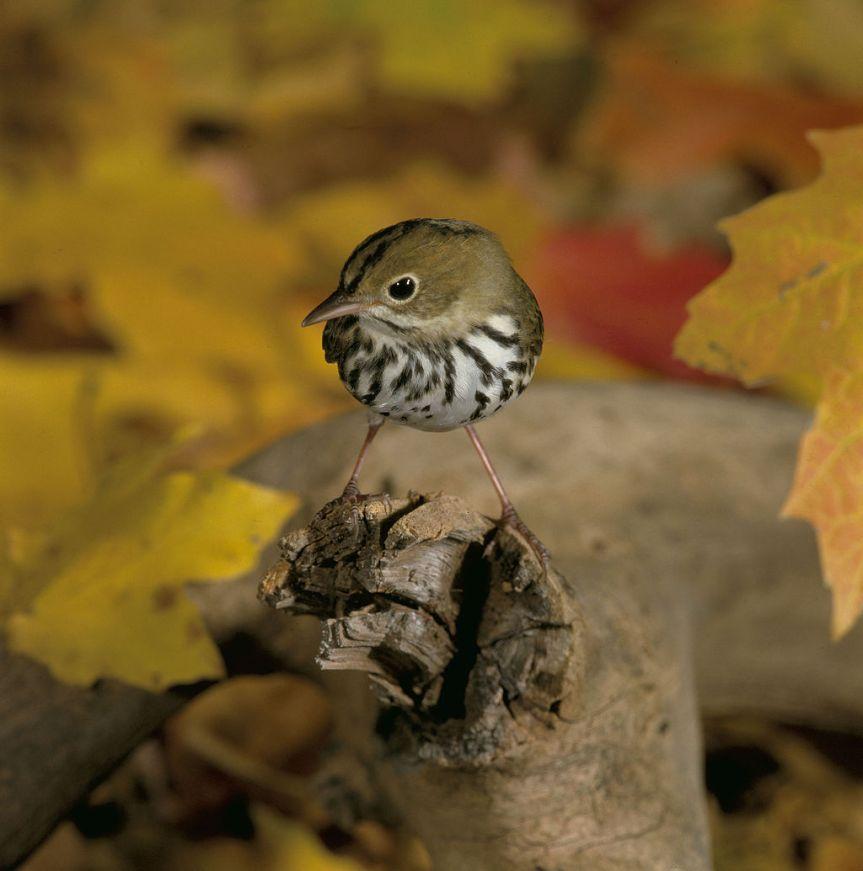 Ovenbird by S. Maslowski