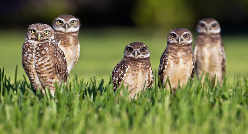 Burrowing Owls by travelwayoflife CC BY-SA 2.0 via Wikimedia Commons