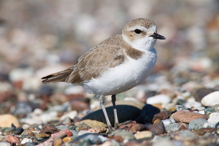 Snowy Plover by