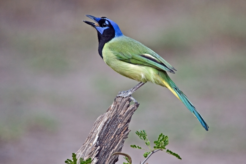 Green Jay by Alan Wilson