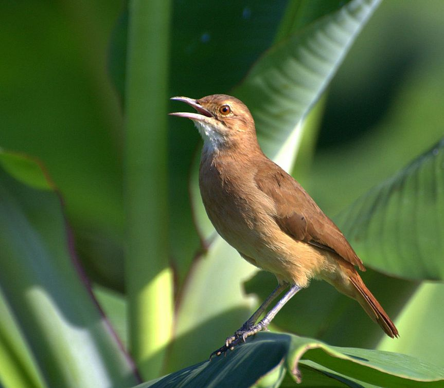 Rufous Hornero by Dario Sanches CC BY-SA 2.0 http://creativecommons.org/licenses/by-sa/2.0 via Wikimedia Commons http://ow.ly/VfYX307GdYx