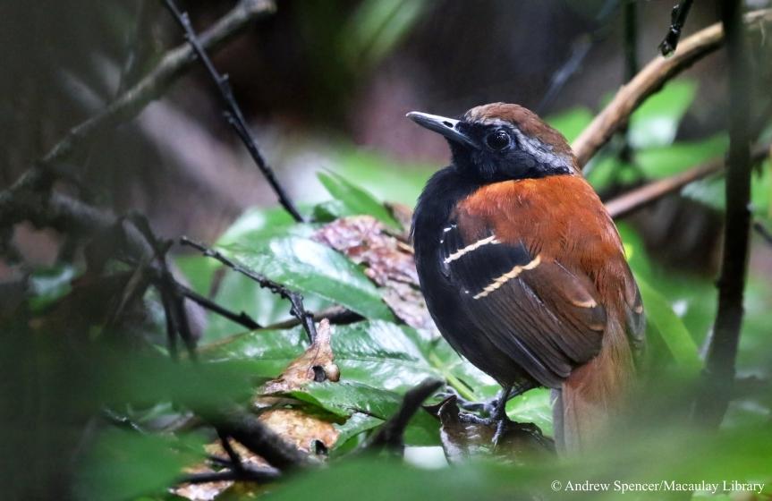 Cordillera Azul Antbird2016-10-10-1_Copyright