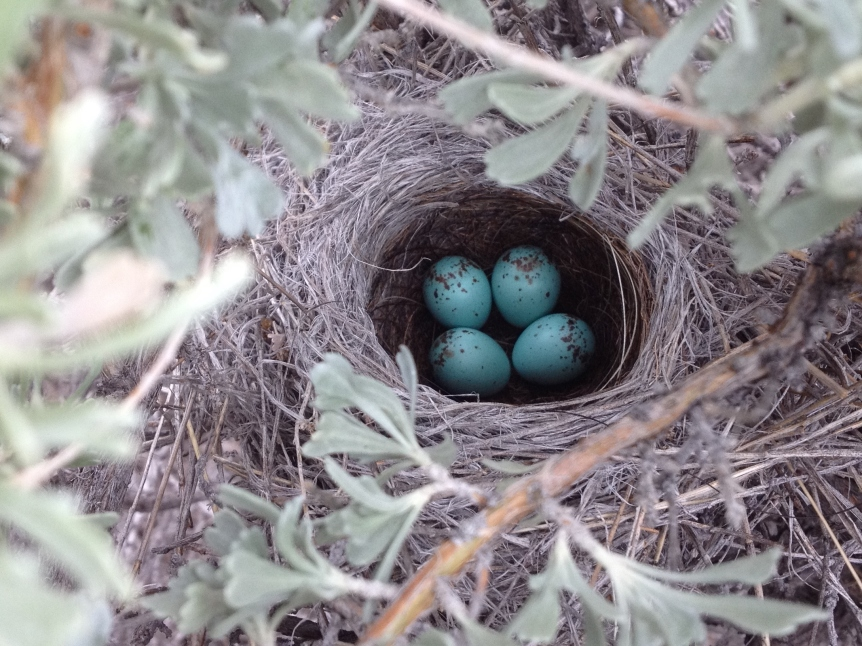 CONDOR-17-200 J Carlisle brewer's sparrow eggs