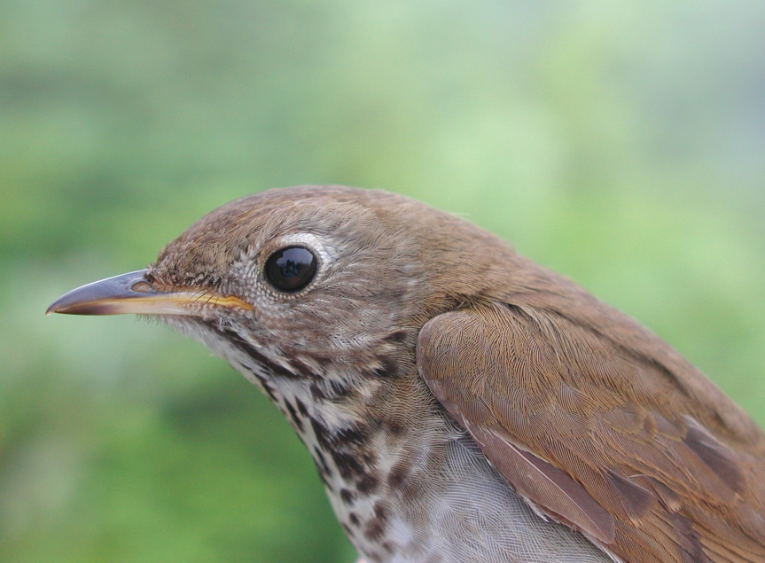 Bicknell's Thrush, East Mt, Vermont