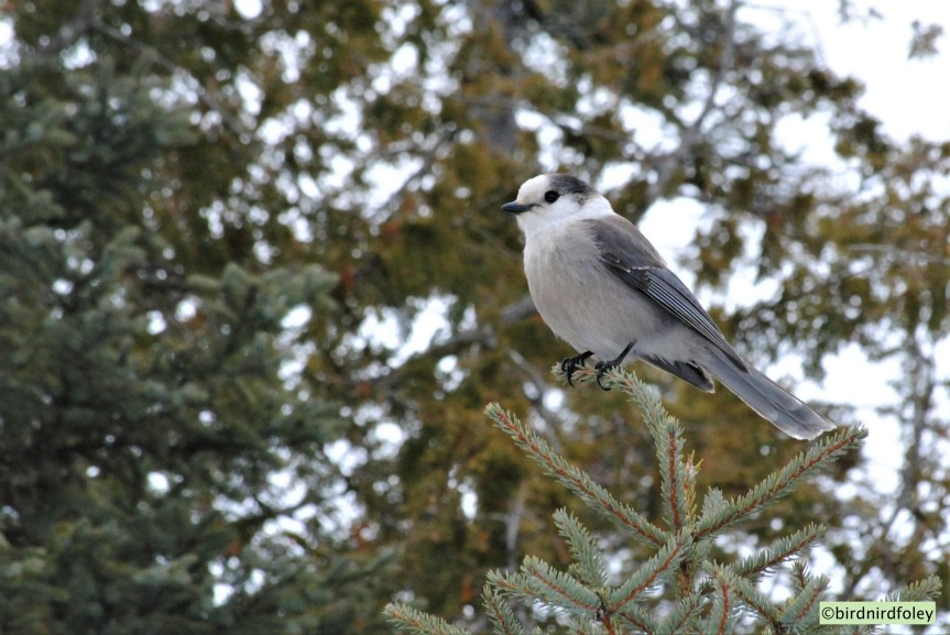 Name change of Gray Jay back to the original common name of Canada Jay
