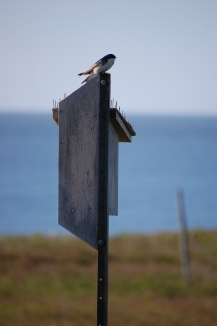 tree swallows on nest box