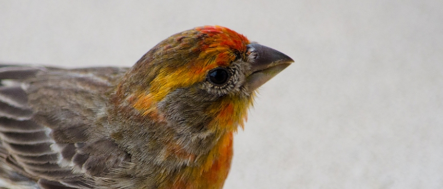 HawaiianHouseFinch
